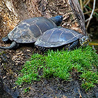 Male and female European pond turtle (Emys orbicularis) resting on log, La Brenne, France