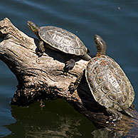 Spanish terrapins (Mauremys leprosa) basking in the sun on log in lake, Extremadura, Spain