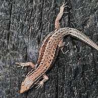 Common wall lizard (Podarcis / Lacerta muralis) sunning on burned wood, La Brenne, France
