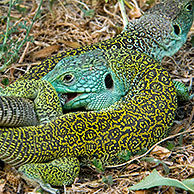 Ocellated lizards (Lacerta lepida) mating, Extremadura, Spain