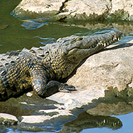 Nile Crocodile (Crocodylus niloticus) sunbathing in the Kruger NP, South Africa