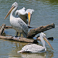 Pink-backed Pelicans (Pelecanus rufescens) resting on tree trunk and preening their feathers in lake, native to Africa
