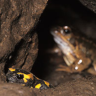 European / Fire salamander (Salamandra salamandra) and Common frog (Rana temporaria) in cave, Belgium