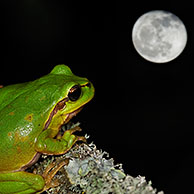 European / Common tree frog (Hyla arborea) sitting on lichen covered branch at night, La Brenne, France