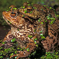 Common European toads (Bufo bufo) in amplexus, Belgium