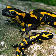European / Fire salamander (Salamandra salamandra) among fallen leaves in forest, Luxembourg