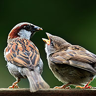 Male Common / House sparrow (Passer domesticus) feeding juvenile on garden fence, Belgium