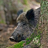 Wild boar (Sus scrofa) in autumn beech forest, Germany