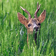 Roe deer (Capreolus capreolus) buck in field, France