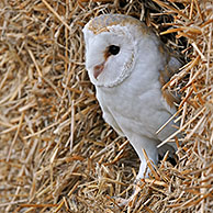 Barn owl (Tyto alba) in haystack in barn, England, UK