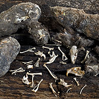 Contents of regurgitated Barn owl pellets (Tyto alba) showing bones and skulls of mice, Belgium