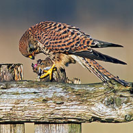 Kestrel (Falco tinnunculus) male feeding on dead blackbird