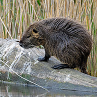 Coypu / nutria (Myocastor coypus) on log in reedbed, La Brenne, France. Originally native to South America