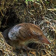 Eurasian / common shrew (Sorex araneus) leaving burrow