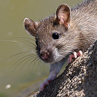 Juvenile Brown rat (Rattus norvegicus) at water's edge along canal, France