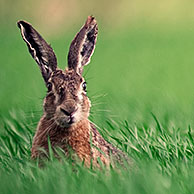 European / Brown hare (Lepus europaeus) in field, Belgium