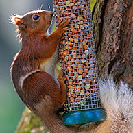 Red squirrel (Sciurus vulgaris) in forest eating peanuts from bird feeder, Scotland, UK