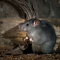 Black rat (Rattus rattus) foraging in old barn at night, Belgium