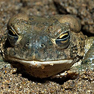 Arizona toad (Bufo microscaphus) burrowing in mud and showing the transparent inner eyelid, Arizona, US