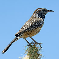 Cactus wren (Campylorhynchus brunneicapillus) perched on Chain fruit / Jumping cholla (Cylindropuntia fulgida) Organ Pipe Cactus National Monument, Arizona, US