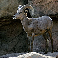 Male Nelson's / Desert Bighorn (Ovis canadensis nelsoni) standing in rock face, Arizona, US