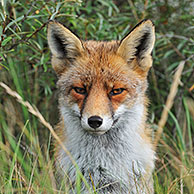 Red fox (Vulpes vulpes) sitting in thicket with common sea-buckthorn in the dunes in autumn, the Netherlands