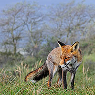 Red fox (Vulpes vulpes) in thicket with common sea-buckthorn in the dunes in autumn, the Netherlands
