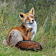 Red fox (Vulpes vulpes) grooming by scratching fur with hind leg, the Netherlands