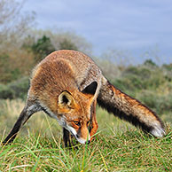 Red fox (Vulpes vulpes) sniffing at territorial scent mark in the dunes in autumn, the Netherlands
