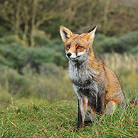 Red fox (Vulpes vulpes) sitting in grassland at forest edge in autumn, the Netherlands