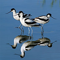 Three Avocets wading (Recurvirostra avosetta) in shallow water, Texel, Netherlands