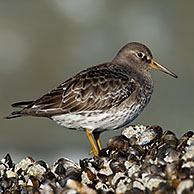 Portrait of Purple sandpiper (Calidris maritima) on beach, Belgium