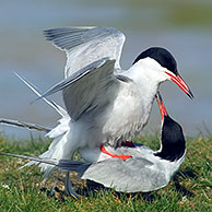 Common Terns (Sterna hirundo) mating, Texel, Netherlands