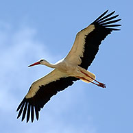 White stork flying (Ciconia ciconia) against cloudy sky, Spain