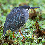 Striated Heron / Green-backed Heron (Butorides striata) in the Kruger NP, South Africa