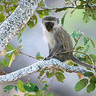 Vervet Monkey (Chlorocebus pygerythrus) in the Kruger NP, South Africa