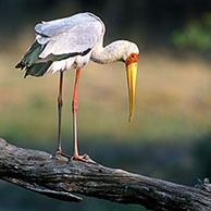Yellow-billed Stork (Mycteria ibis) in the Kruger NP, South Africa