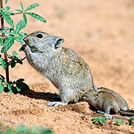 Brants's Whistling Rat (Parotomys brantsii) with young suckling in the the Kgalagadi Transfrontier Park, Kalahari desert, South Africa