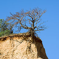 Tree exposing its roots at cliff edge due to soil erosion, Provence, France