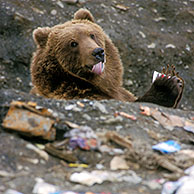 Kodiak / Brown bear (Ursus arctos middendorfi) licking plastic cup of yoghurt on dump, North America, Alaska, Kodiak Island, USA