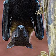Lyle's flying fox (Pteropus lylei) native to Cambodia, Thailand and Vietnam, male hanging upside down from hind feet in tree