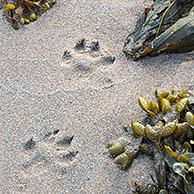 Eurasian otter / European otter (Lutra lutra) footprints in wet sea sand among seaweed on beach in coastal Scotland, UK