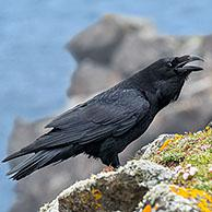 Common raven / northern raven (Corvus corax) calling from top of sea cliff along the coast, Scotland, UK