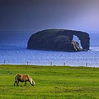 Shetland pony and Dore Holm, small islet with natural arch off the coast of Stenness, Esha Ness / Eshaness during downpour  on Mainland Shetland, Scotland, UK