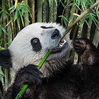 Young two-year old giant panda (Ailuropoda melanoleuca) cub eating bamboo stalk in forest