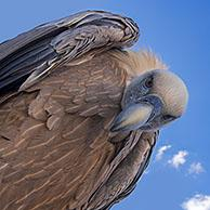 Worm's-eye view on griffon vulture (Gyps fulvus) looking down on prey against blue sky with white clouds