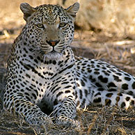 African Leopard (Panthera pardus pardus) resting in the Kruger National Park, South Africa