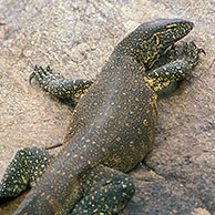 Nile monitor (Varanus niloticus) in the Kruger National Park, South Africa