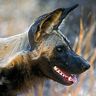 African wild dog (Lycaon pictus) in the Kruger National Park, South Africa