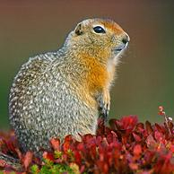 Arctic / Parry's ground squirrel (Spermophilus parryii) on tundra in autumn, Denali NP, Alaska, USA